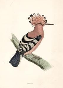 Picture of a Hoopoe (bird)